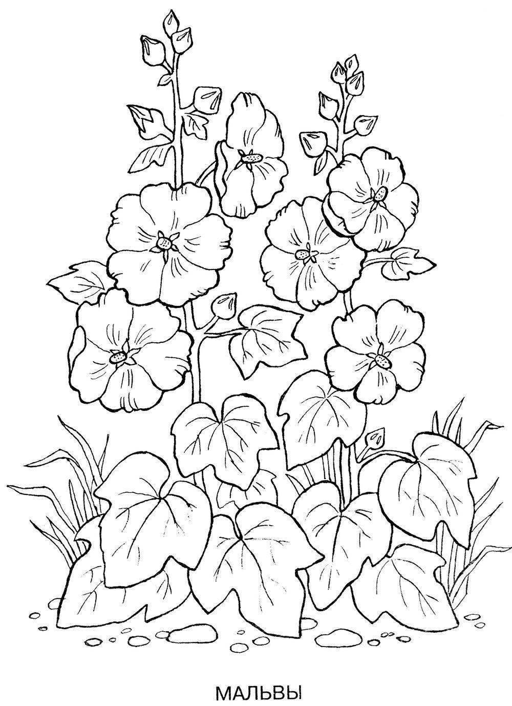 Раскраски. цветы мальвы Раскраски цветов бесплатно