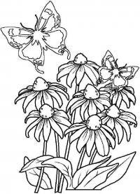 Цветы эхинацея и бабочка Раскраски цветы скачать