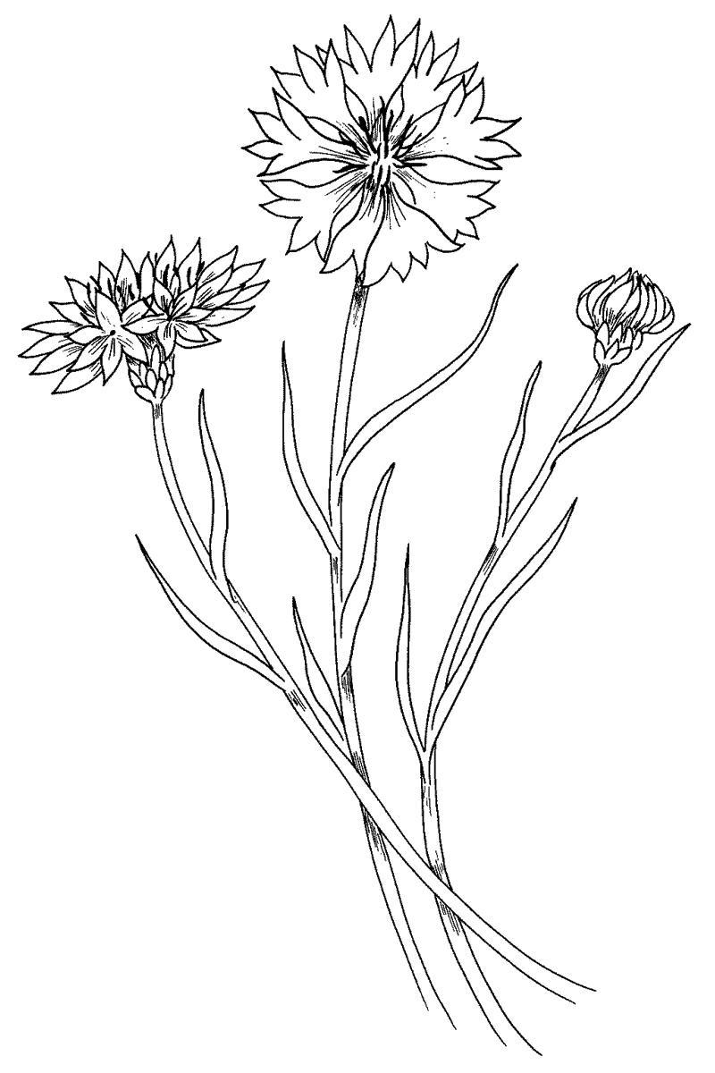 Полевые цветы Три цветка василька Раскраски цветы хорошего качествараскраски цветы
