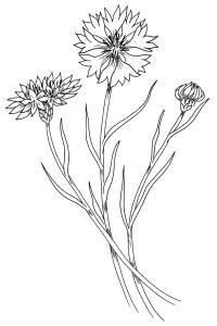 Три цветка василька Скачать новые раскраски цветы