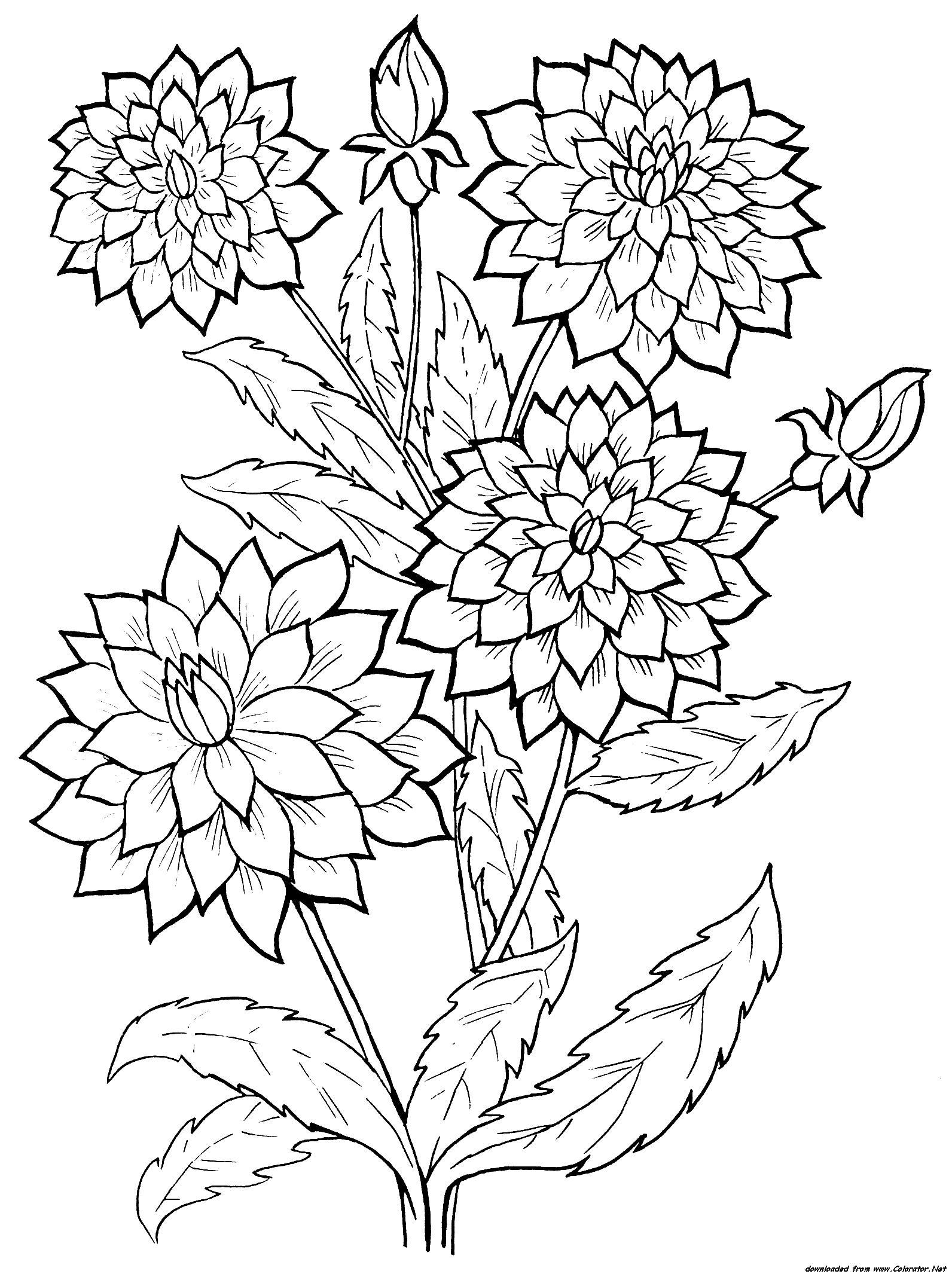 Георгины на кусту Фото раскраски цветы