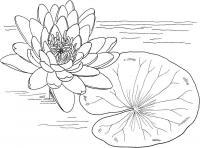 Кувшинка с листьями на воде Галерея раскрасок с цветами онлайн