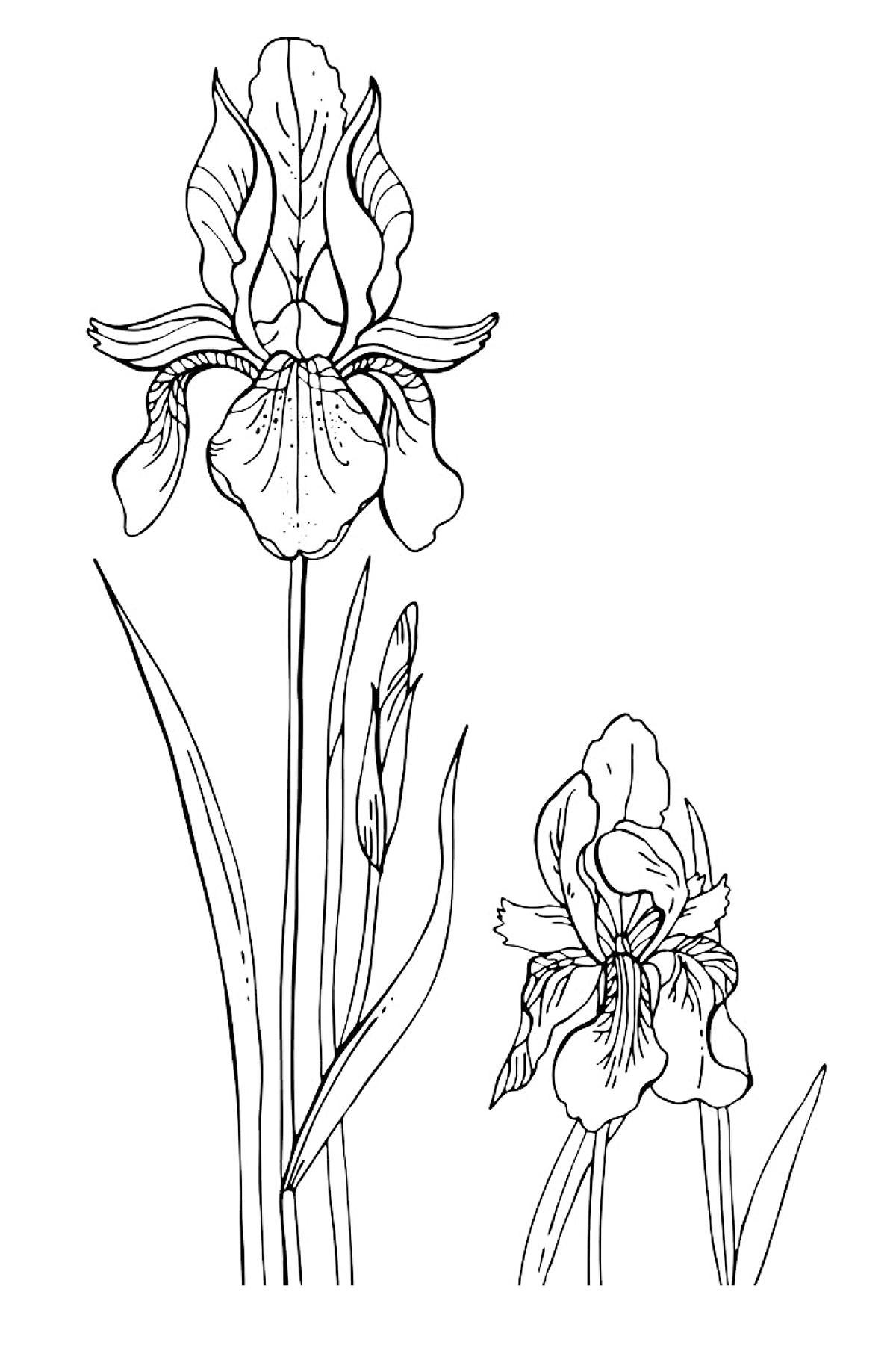 Раскраска ирисы степные цветы Картинки раскраски цветы