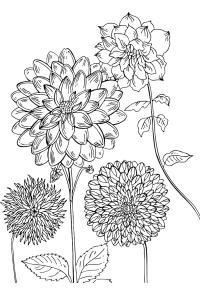 Георгин Фото раскраски цветы