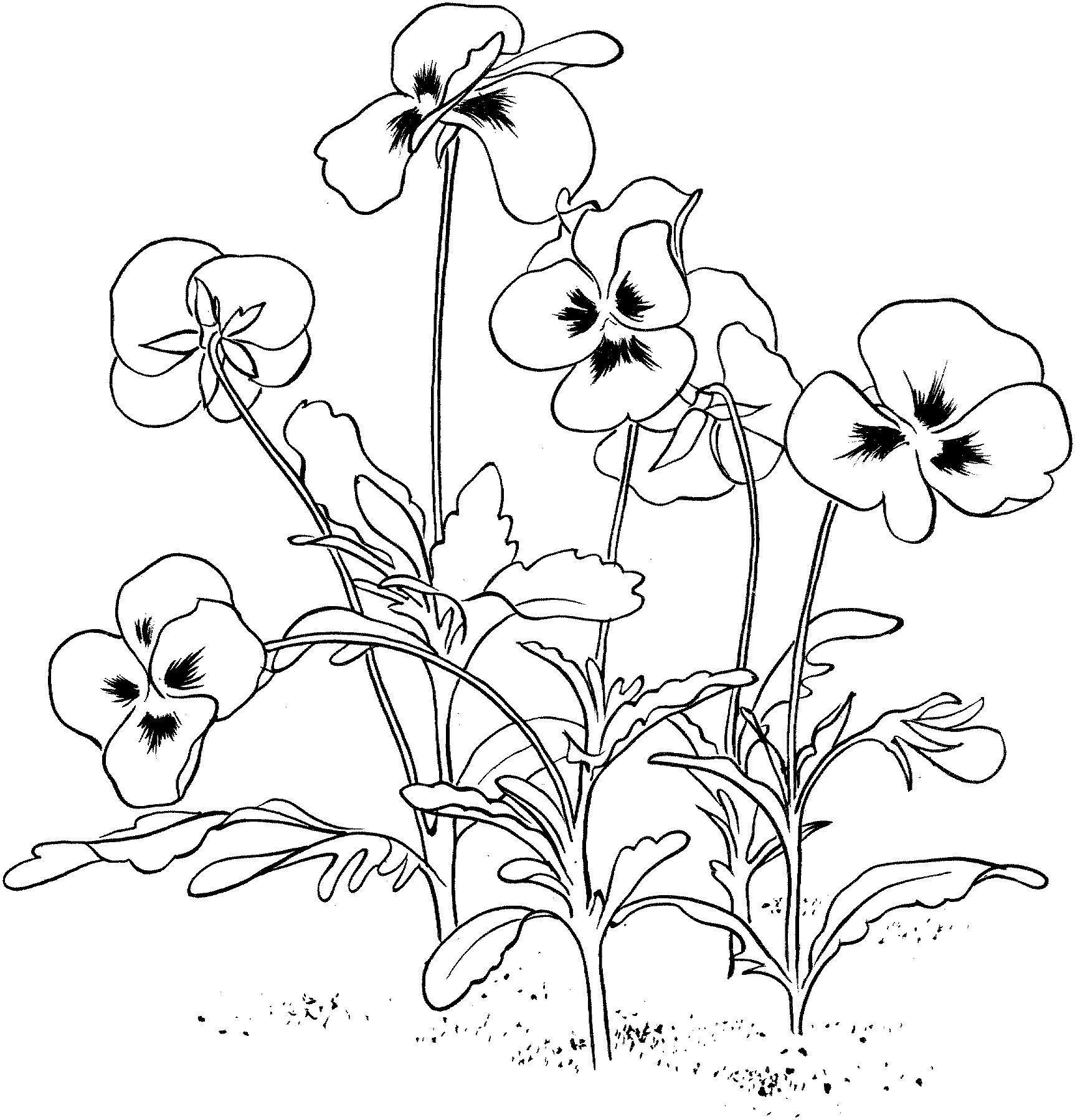 Анютины глазки Новые раскраски цветы