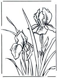 Ирис степные цветы Картинки раскраски цветы