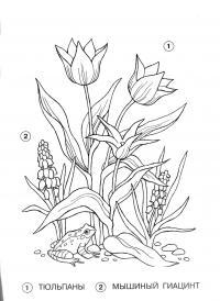 Тюльпаны, мышиный гиацинт Раскраски с цветами распечатать бесплатно