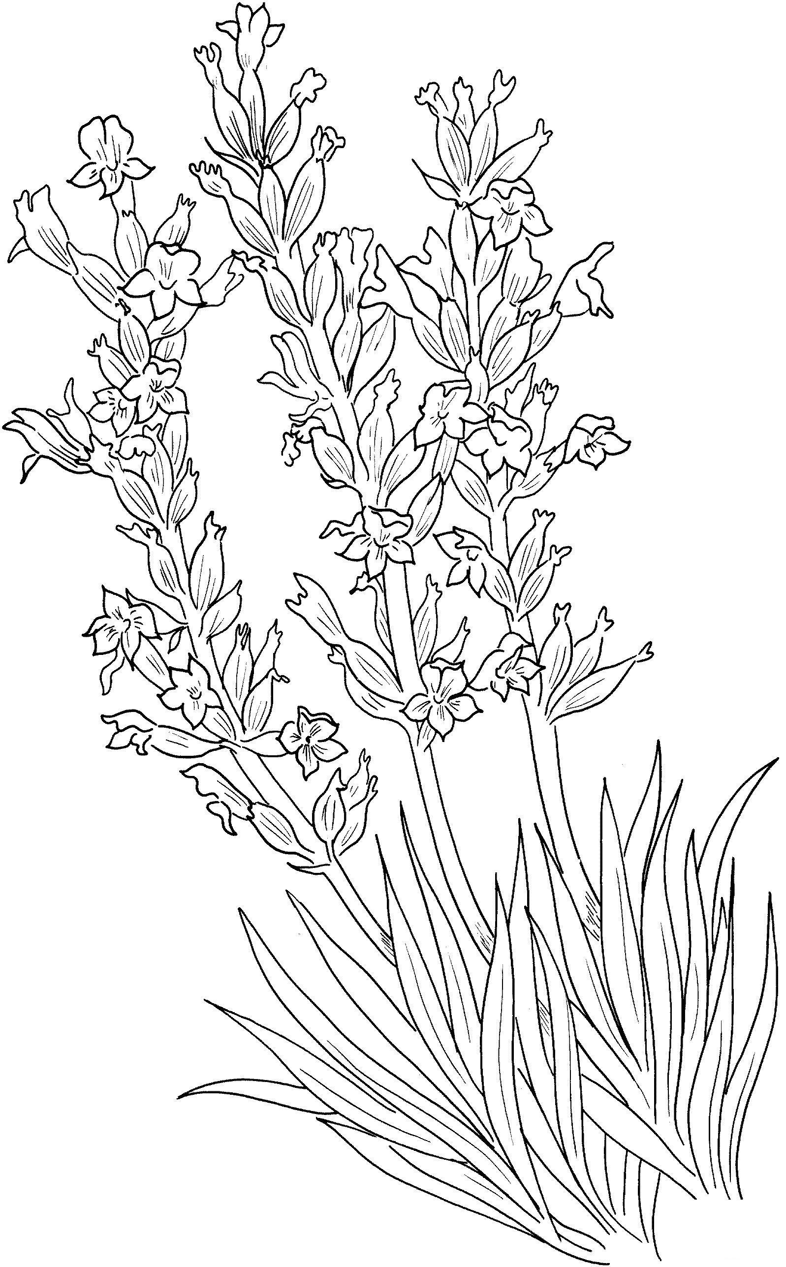 Рисунок лаванды карандашом 5