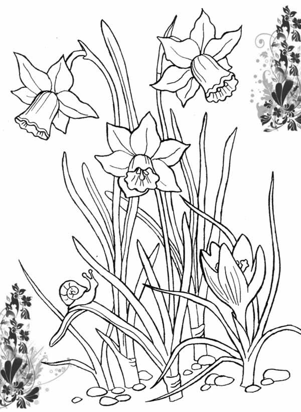 Нарциссы Раскраски цветы хорошего качества