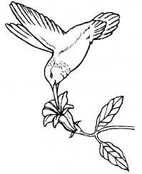 Колибри над цветком Новые раскраски цветы