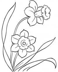 Нарцисс Раскраски цветы хорошего качества