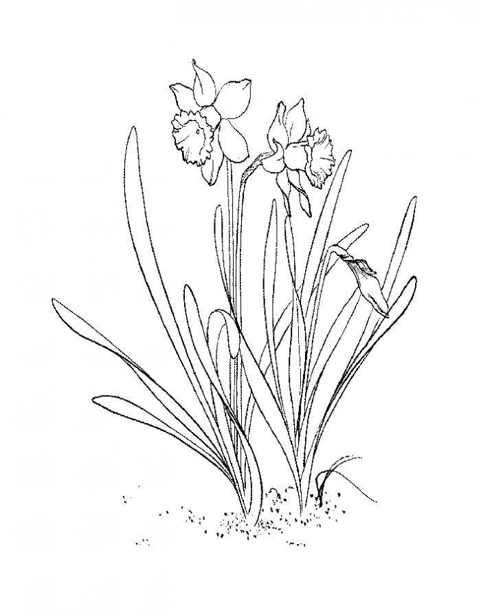 Нарциссы на грядке Раскраски цветы хорошего качества