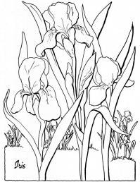 Красивые ирисы Картинки раскраски цветы