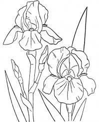 Два ириса Картинки раскраски цветы