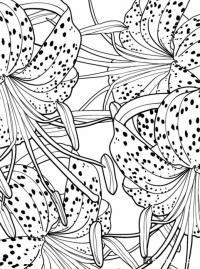 Раскраски антистресс, тигровые лилии Раскраски с цветами распечатать бесплатно