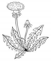 Одуванчик для малышей Фото раскраски цветы