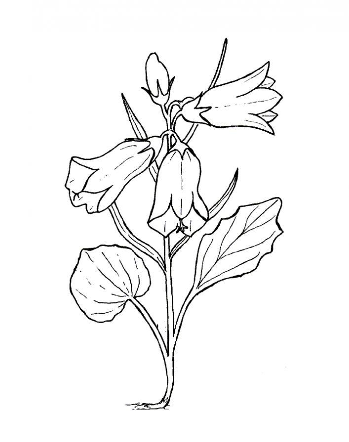 Раскраски цветка колокольчик