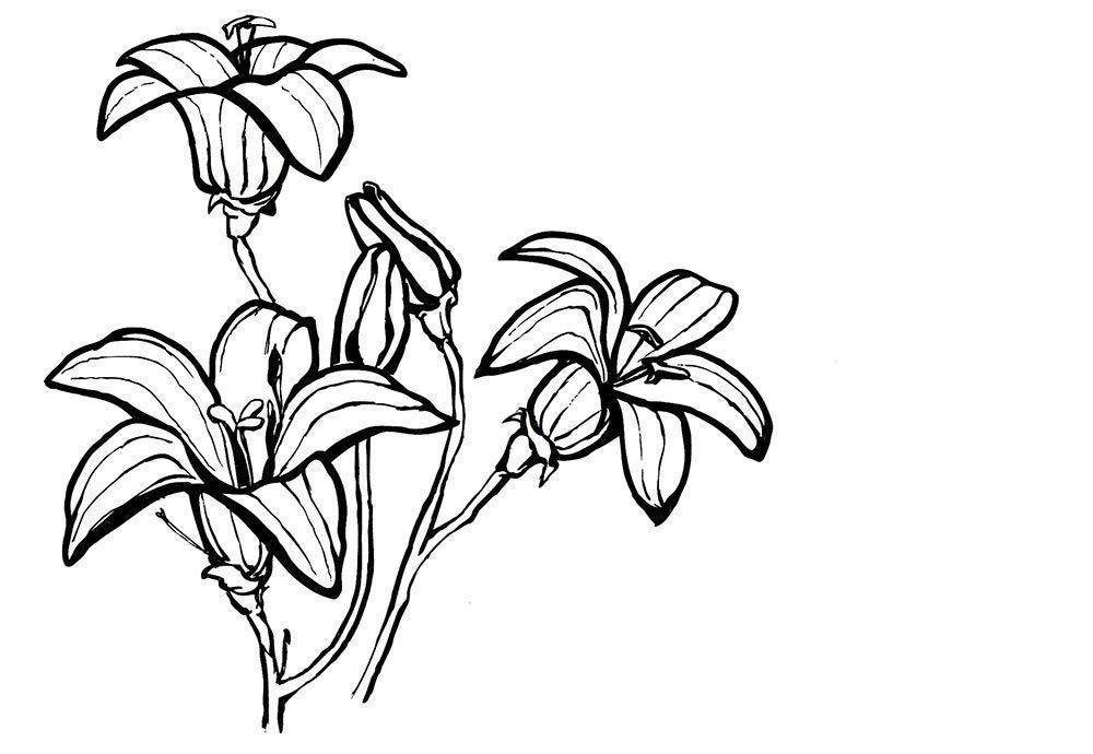 Лилия в полоску Разукрашки цветы
