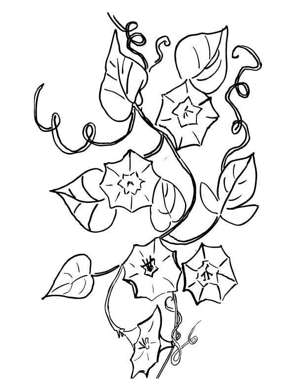 Вьюны Раскраски цветы хорошего качества