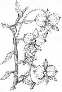Колумбийские орхидеи Раскраски цветы скачать