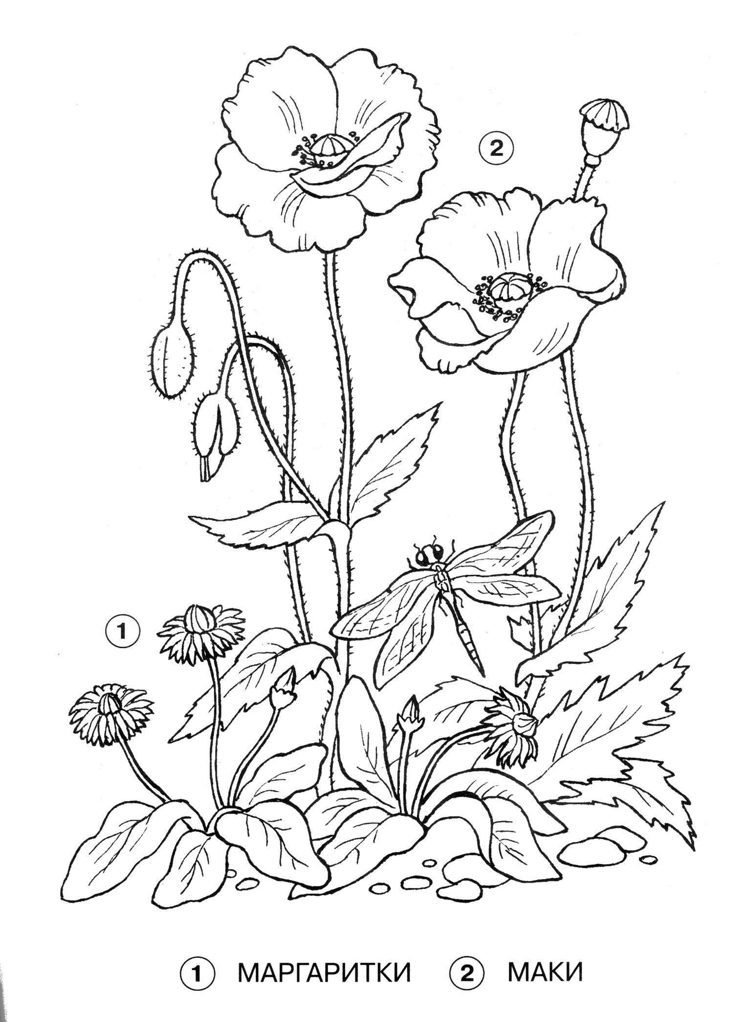 Мак и маргаритка Распечатываем раскраски цветы бесплатно