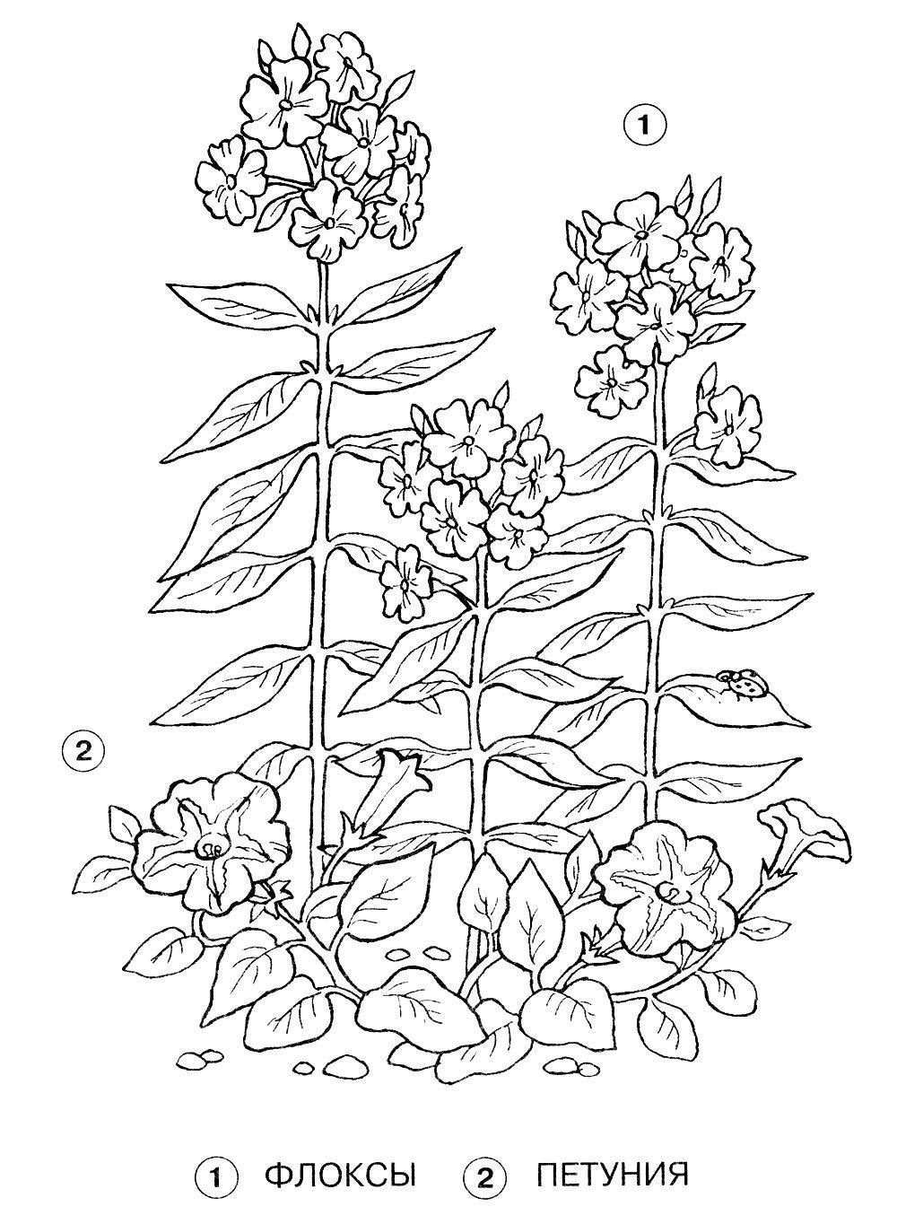 Флокс и петуния Раскраски цветы скачать