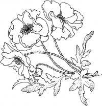 Мохнатые маки Распечатываем раскраски цветы бесплатно