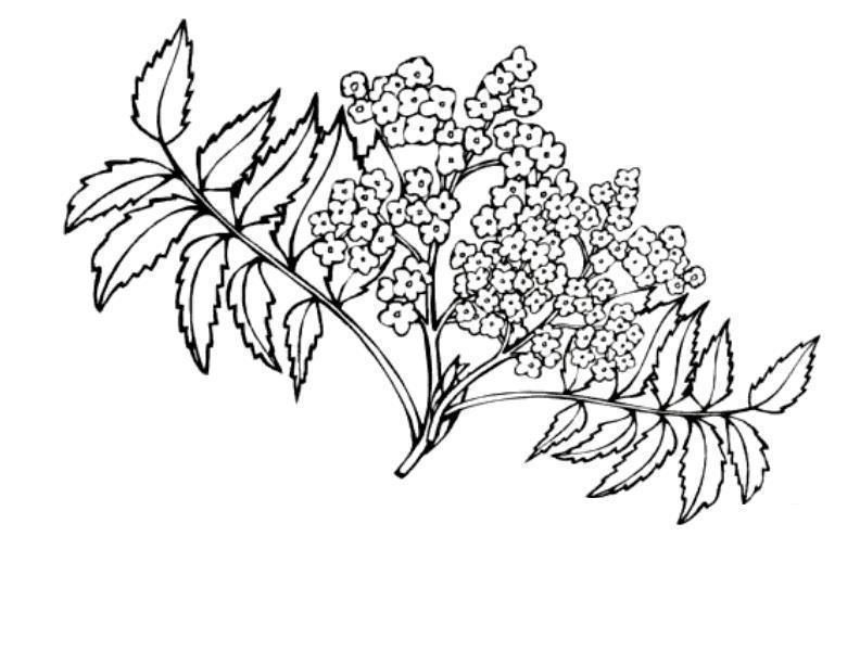 Цветущий виноград орегон Раскраски цветочки онлайн