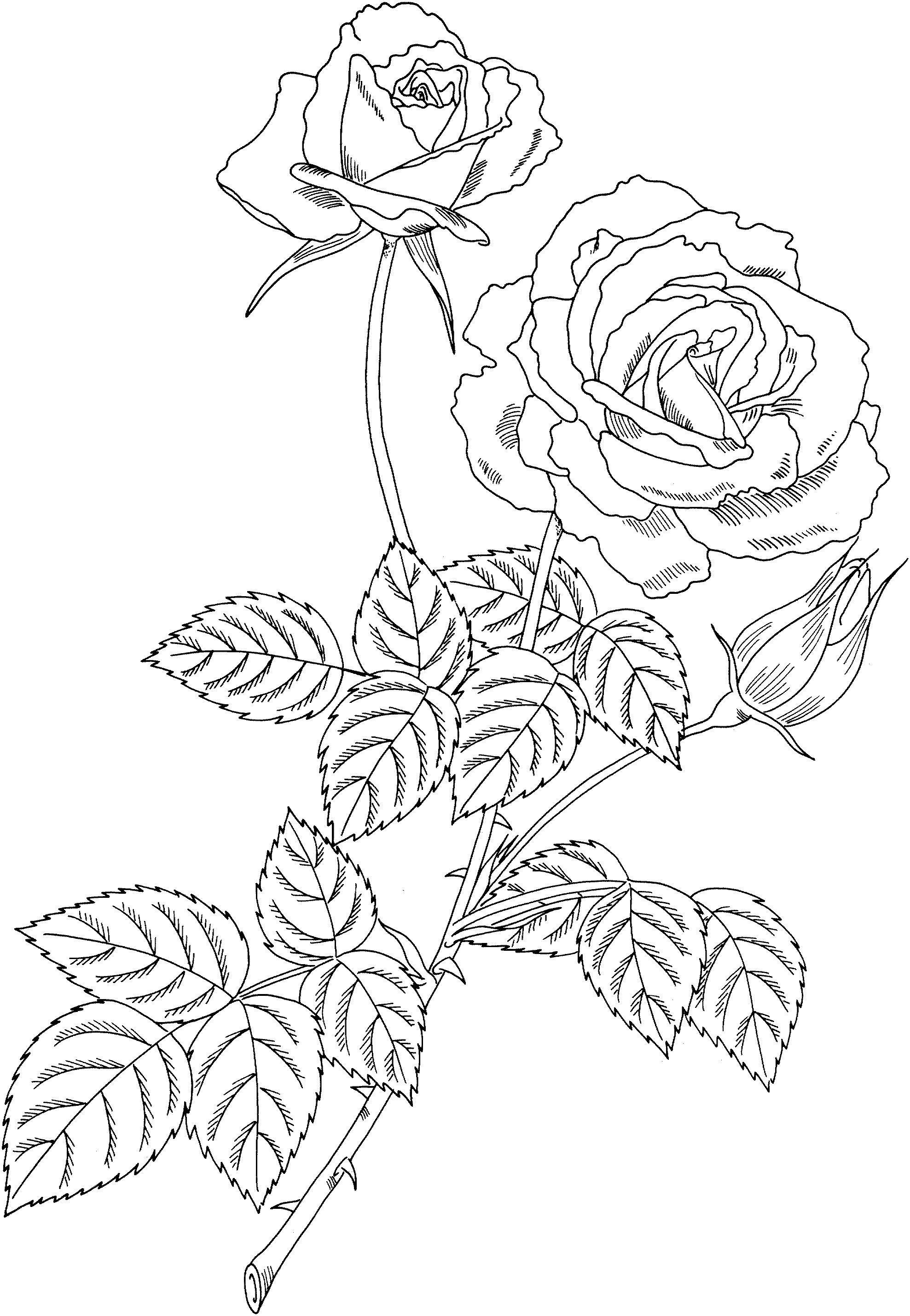 Ветка цветущей розы с бутоном Раскраски с цветами распечатать бесплатно