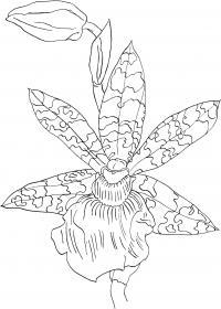 Тигровые орхидеи Для детей онлайн раскраски с цветами