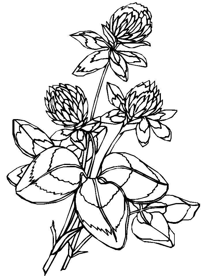 Красный клевер Раскраски с чудесными цветами