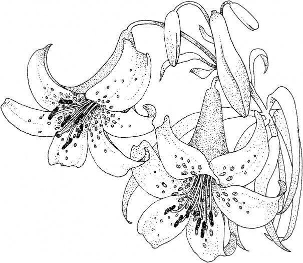 Лилия Разукрашки цветы