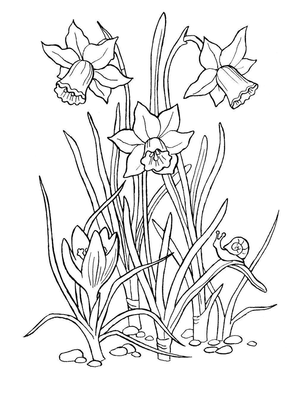 Клумба крокусы и нарциссы Красивые раскраски цветов
