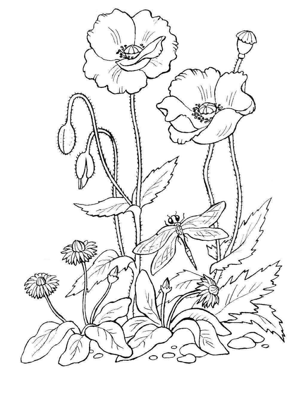 Клумба с маргаритками и маками Распечатываем раскраски цветы бесплатно