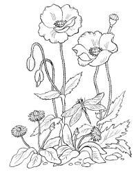 Клумба с маргаритками и маками Красивые раскраски цветов