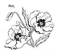 Два красивых мака Распечатываем раскраски цветы бесплатно