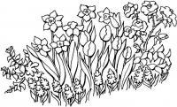 Клумба нарциссов и роз Красивые раскраски цветов