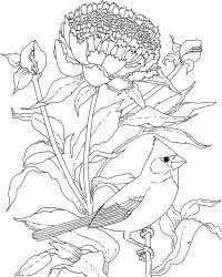 Пион и птица с хохолком Раскраски с цветами распечатать бесплатно