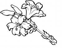 Прекрасные лилии Разукрашки цветы