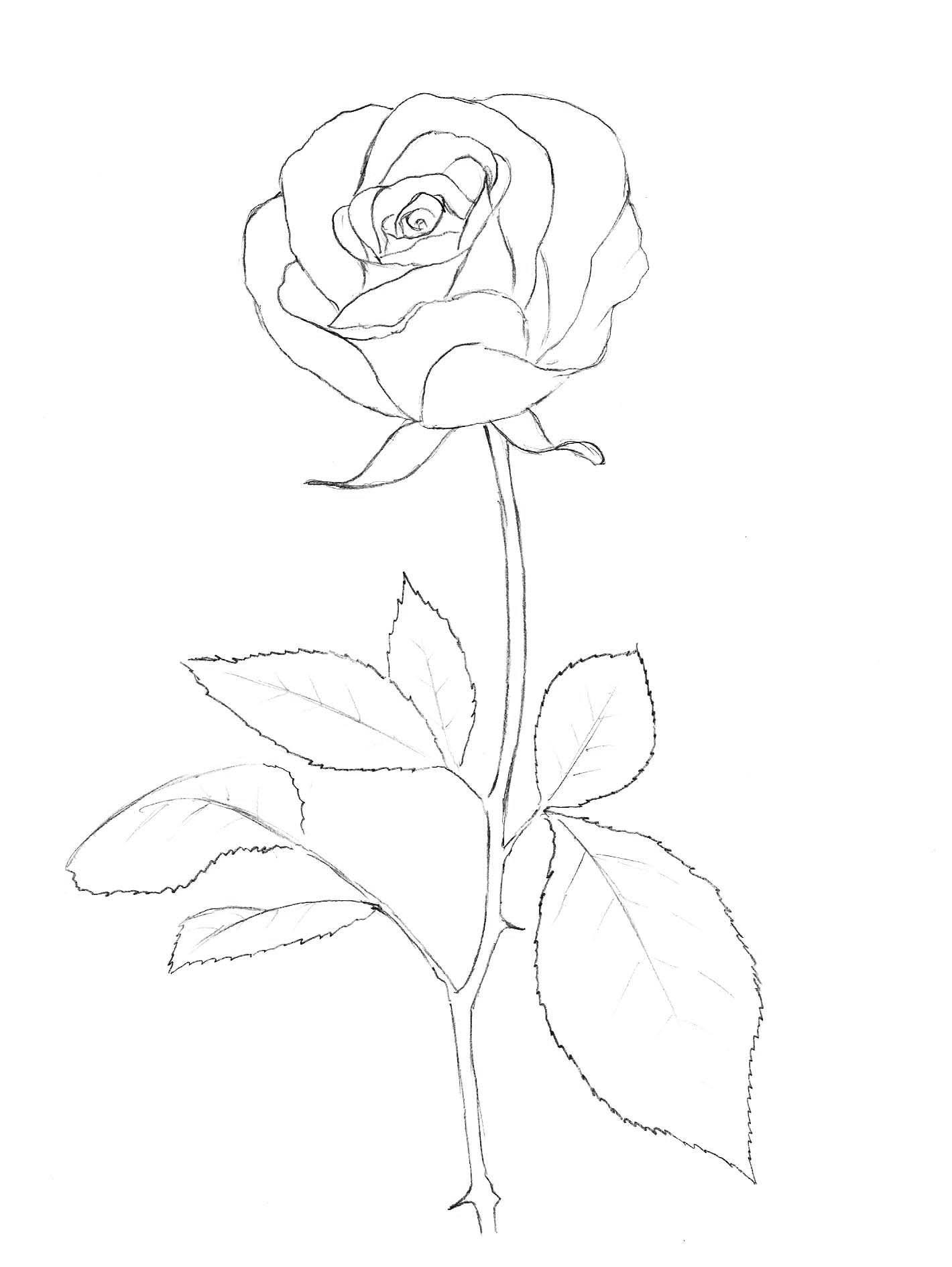 Контур цветка розы Раскраски с цветами распечатать бесплатно