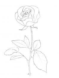 Контур цветка розы Раскраска цветок для скачивания