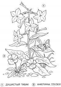 Весенние цветы, душистый табак, анютины глазки Новые раскраски цветы
