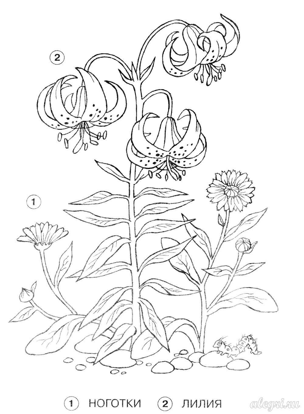 Летние цветы, ноготки и лилии Раскраски цветов бесплатно