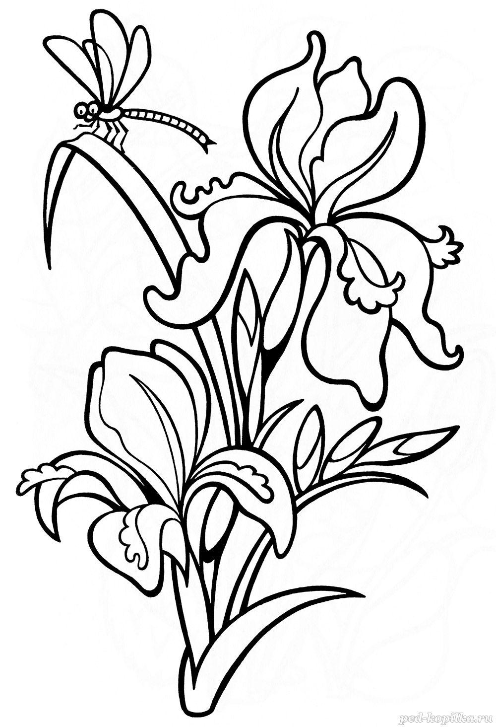 Летние цветы ирисы Раскраски цветов бесплатно