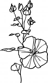 Летние цветы вьюнки Раскраски цветов бесплатно