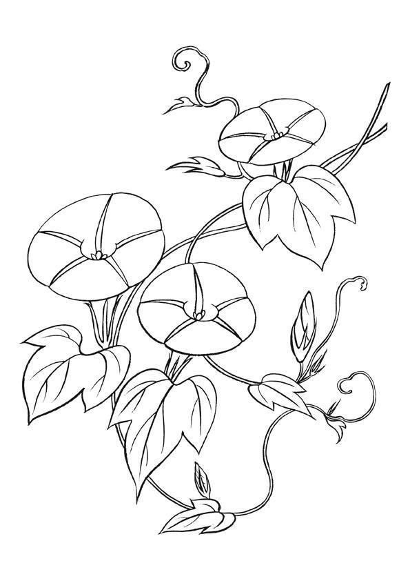 Вьюны Раскраски с цветами распечатать бесплатно