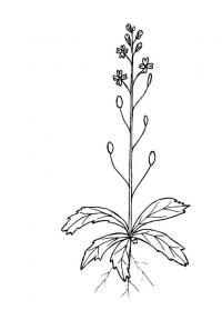 Полевой цветок с корнем и листьями