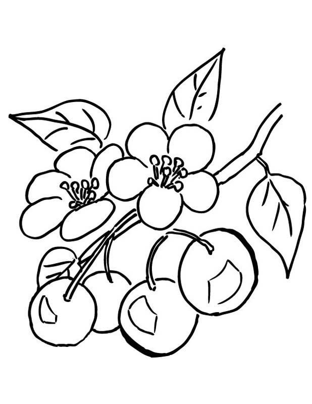 Яблоня цветет Новые раскраски цветы
