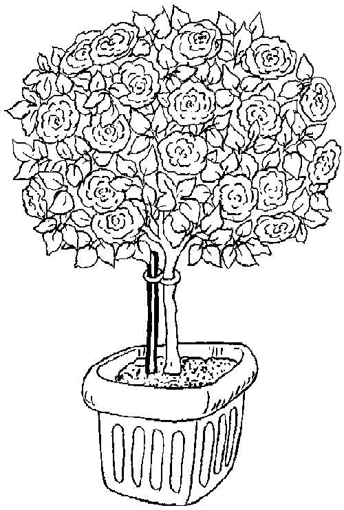 Куст розы цветет Фото раскраски цветы