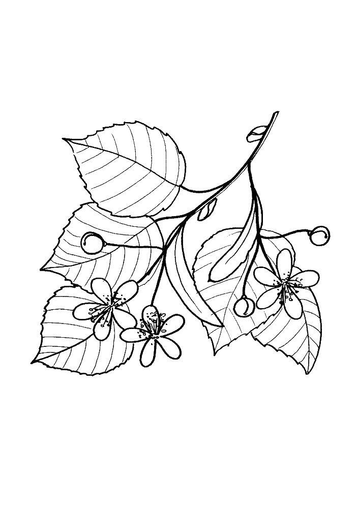 Ветка дерева с цветами и бутонами Новые раскраски цветы